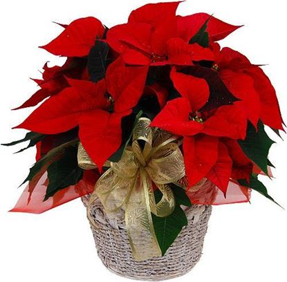 Picture of Red poinsettia in ceramic vase or basket