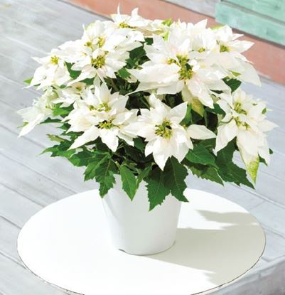 Picture of White poinsettia in ceramic vase or basket
