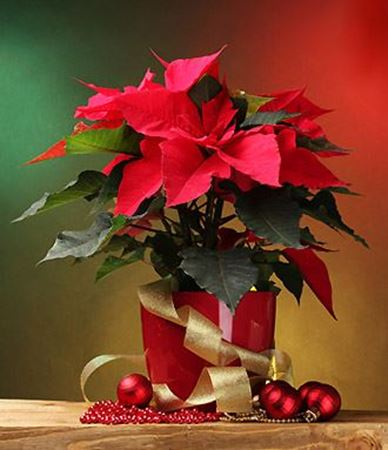 Picture for category Christmas plants