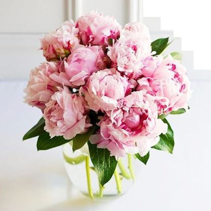 Picture of Beautiful strong Dutch peonies in pink color  in simple hand tied bouquet.