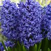 Picture of Enjoy the intoxicating fragrance of Hyacinth flower decorations.
