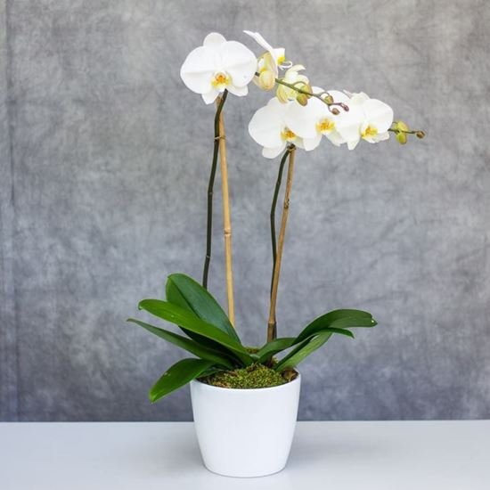 Mynd Absolutly stunning Double-Stem White Phalaenopsis Orchid plant in white pot.