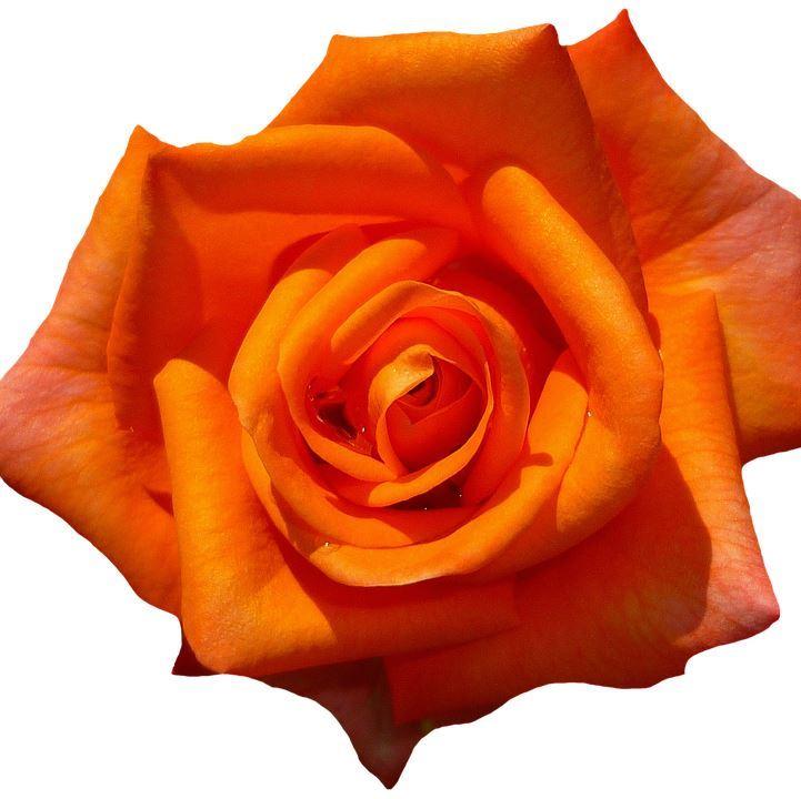 orange rósir